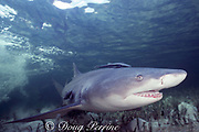 lemon shark, Negaprion brevirostris, adult female swims through lagoon after delivering pups in shallow nursery area, Bimini, Bahamas ( Western Atlantic Ocean )