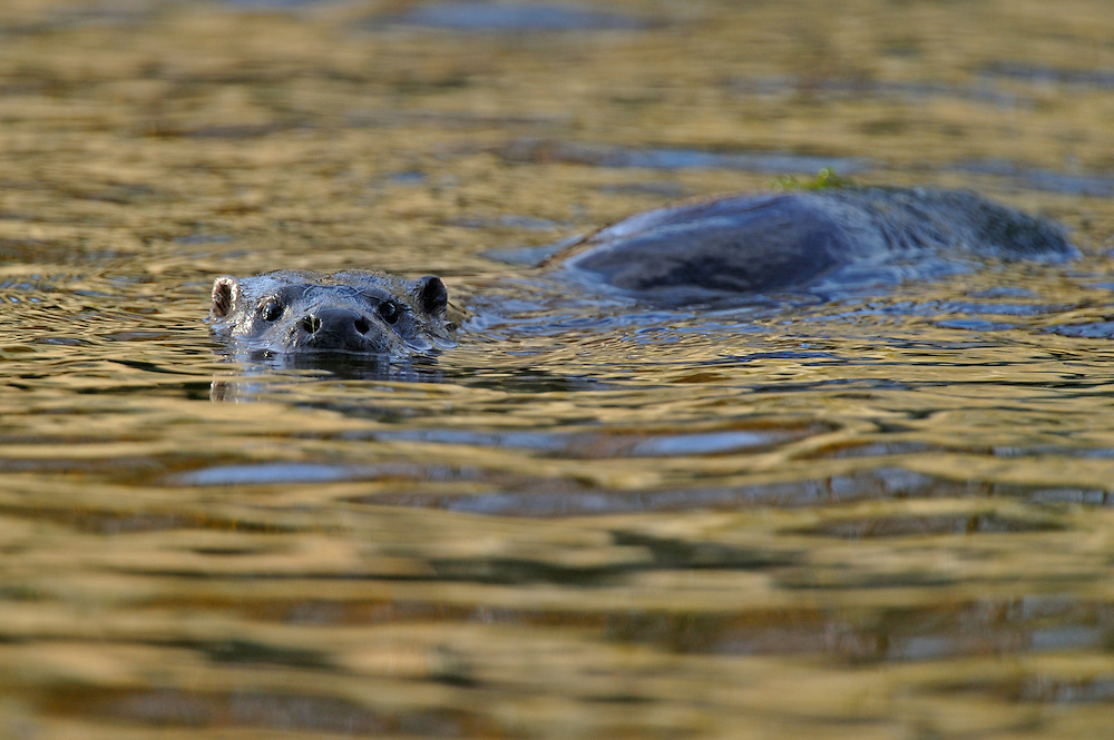 European Otter<br /> (Lutra lutra)<br /> on river<br /> Wales, UK