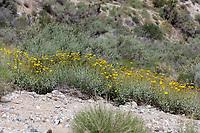 Encelia farinosa (Brittlebush) at Bob's Gap, Los Angeles Co, CA, USA, on 06-May-17