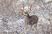 Mule deer (Odocoileus hemionus) Mule deer buck during autumn rut in Colorado