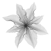 X-ray image of 'The President' clematis flower (Clematis 'The President', black on white) by Jim Wehtje, specialist in x-ray art and design images.