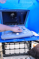 Manatee Health Assessments, Kings Bay, Crystal River, Citrus County, Florida USA. January 24, 2012 pm. Researchers from several federal and state agencies and other partners work together to gather data during the manatee capture and health assessments. Electrocardiography is preformed and recorded using a plastic container to shade the live imaging of the manatee's heart. The animal is only out of the water for a pre-determined safe period of time.