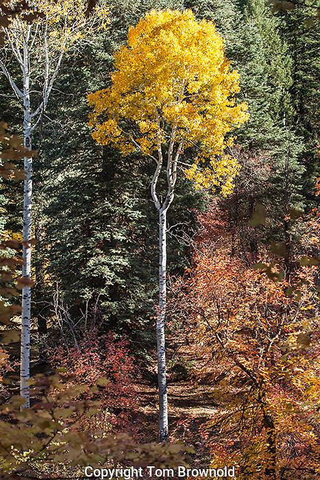 Autumn color in the forest on the Mogollon rim, Arizona.