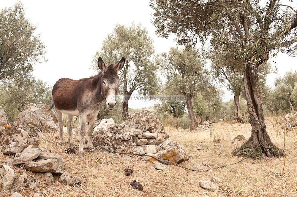 Mule / Donkey in olive grove, Lesbos Island, Greece