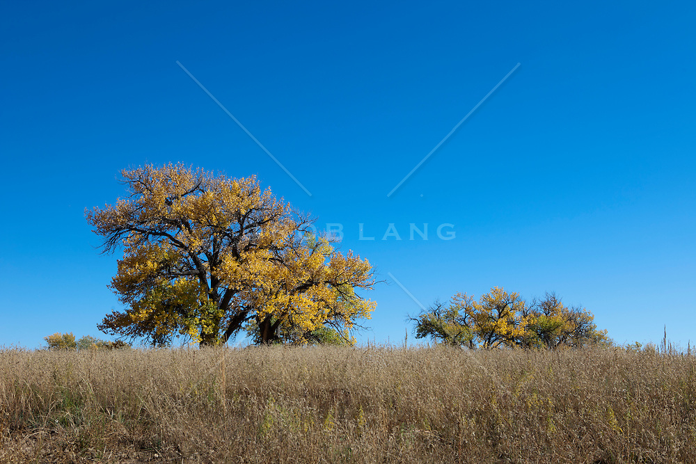 Cottonwood Trees changing color in a field