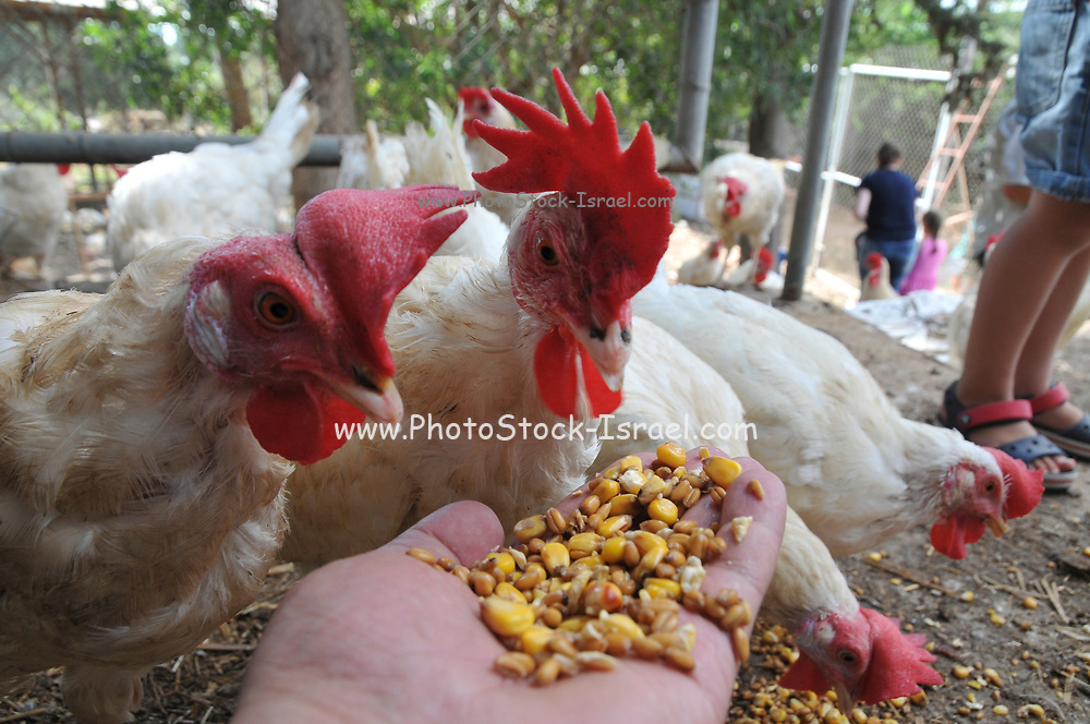 Farmer feeds free range chickens with corn out of his hand