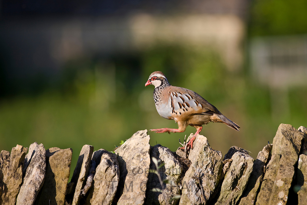 Red-legged French partridge strolling along a drystone wall, The Cotswolds, England, UK
