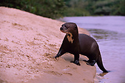 Giant Otter on River Bank<br />
