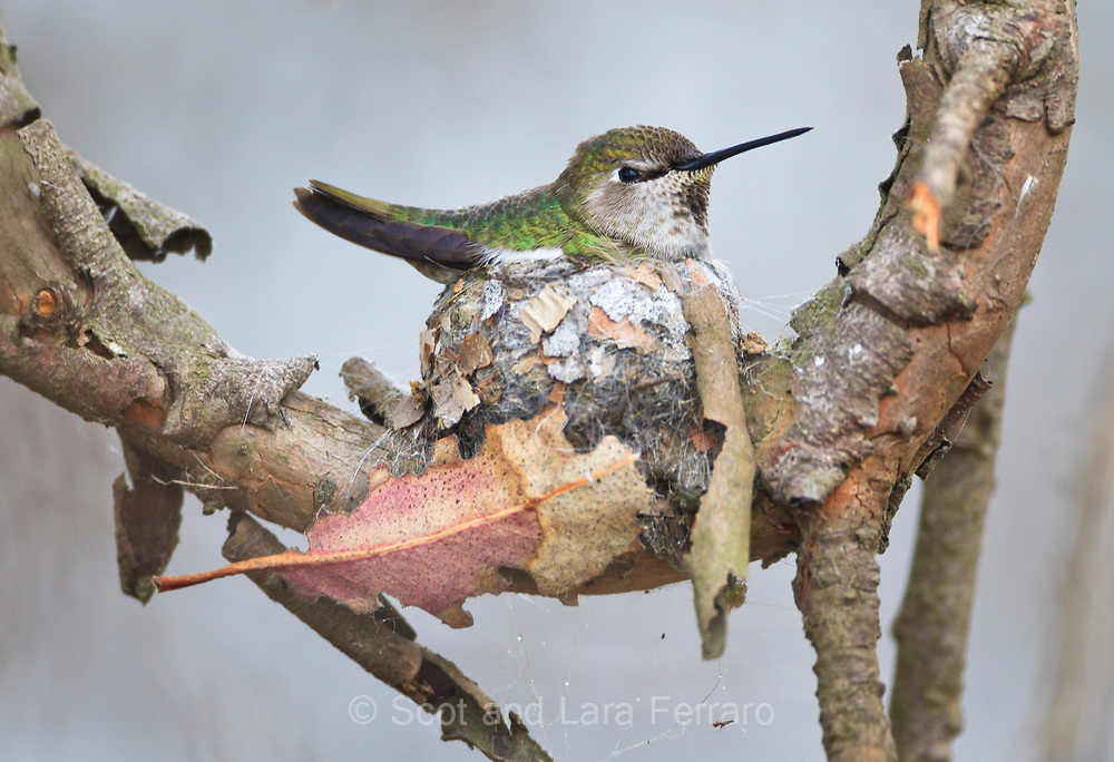 An Anna's Hummingbird nesting in Bosla Chica Wetlands
