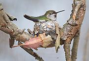 An Anna's Hummingbird nesting in Bosla Chica Wetlands