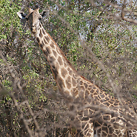 Thornicroft giraffe in South Luangwa National Park, Zambia.