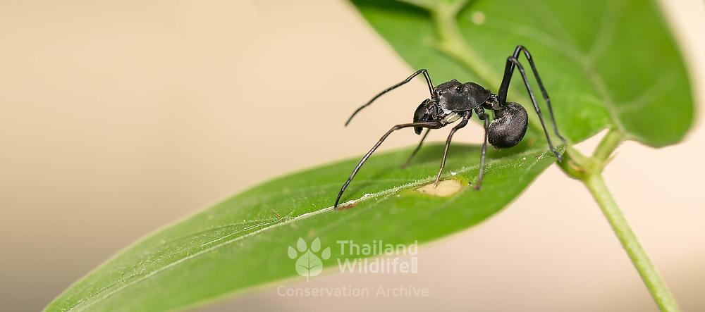 Ant-Mimicking Jumping Spider (Myrmarachne maxillosa)