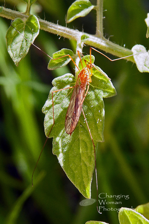 A Tiger Crane Fly (Nephrotoma wulpiana) perches on a tomato vine leaf in the photographer's Las Vegas, Nevada, garden (May 2013). The insect's body features the yellow and orange markings characteristic of this species. Cropped image suitable for Web publication and small prints.