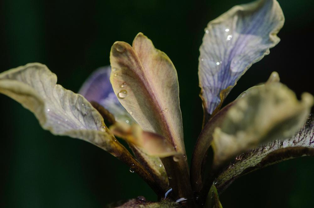 Stinkende lis, Iris foetidissima