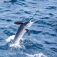 White Marlin jumping offshore Lobito, Angola