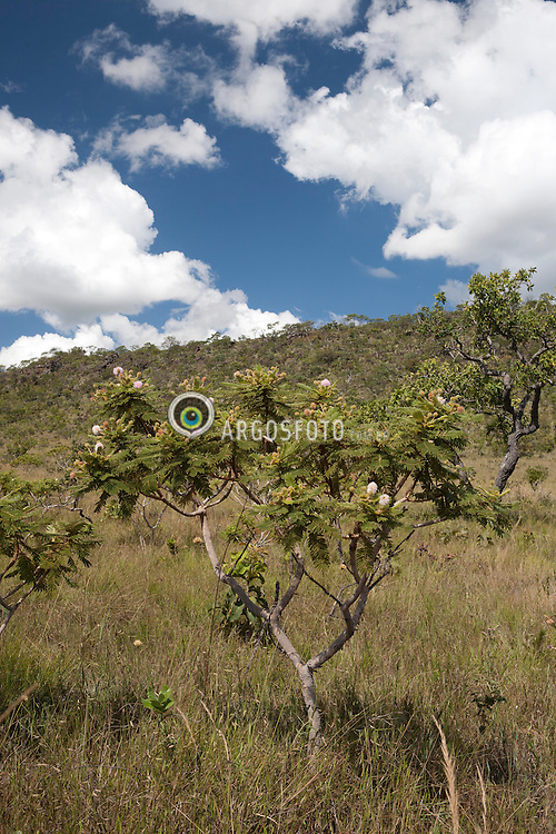 Vegetacao tipica de Cerrado. // Typical Cerrado vegetation.  Foto: Paulo Backes/Argosfoto - 2012 - Prinopolis, GO