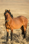 Wild mustang band stallion in Wyoming