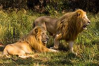 Male white lions,, Lion Park, near Johannesburg, South Africa. The white lion is a rare color mutation of the Timbavati region of South Africa.