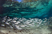School of Mangrove Snapper (Lutjanus griseus) n the Three Sisters Spring in Crystal River, FL. This marine fish can survive in the spring's freshwater.