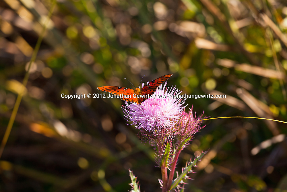 A Gulf Fritillery (Agraulis vanillae) butterfly on a thistle in the Shark Valley section of Everglades National Park, Florida. WATERMARKS WILL NOT APPEAR ON PRINTS OR LICENSED IMAGES.