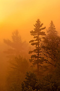 White pines in fog at sunrise <br /> Killarney Provincial Park<br /> Ontario<br /> Canada