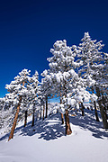 Rime ice on pines in the San Bernardino Mountains, San Bernardino National Forest, California USA