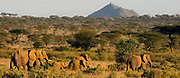African Elephants migrating at sunset in Samburu NP, Kenya.