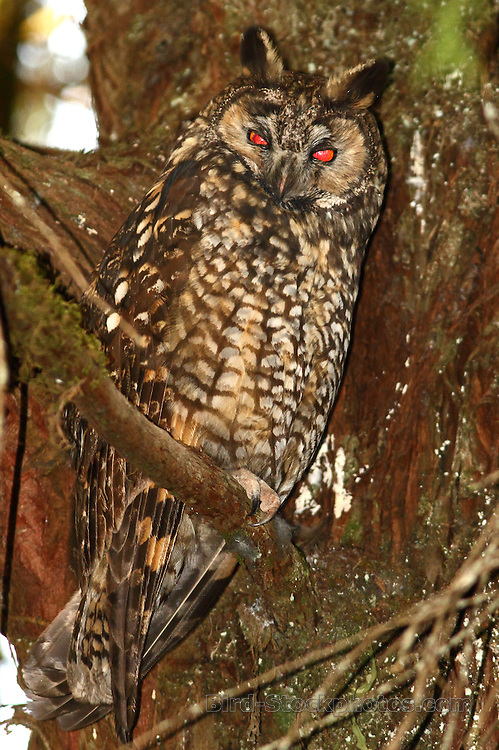 Abyssinian Owl, (African Long-eared Owl), Asio abyssinicus, Ethiopia, by Markus Lilje