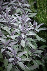 Salvia officinalis 'Purpurascens' - Purple sage