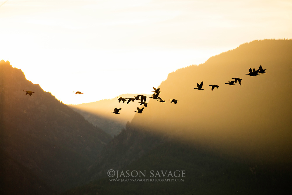Canada Geese in flgiht at sunset over the Bitterroot Mountains, Montana.