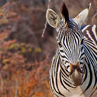 Alberto Carrera, Plains Zebra, Equus quagga, Chobe National Park, Botswana, Africa