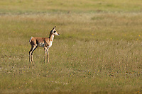 A Pronghorn fawn to some an American Antelope wanders below Commissary Ridge in the valley known as the Hamsfork area this valley is a nursery to this years smallest pronghorns.
