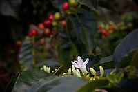 A coffee flower blooming at the same plant as ripe coffee berries at the finca San Carlos of Wilmar Velasquez, in the Vereda Las Andes in the municipality of Salgar in southwest Antioquia. The coffee finca of 4 Ha. has been in the family for several generations and Wilmar returned here seven years ago after the family had to flee the violence 20 years ago. He mostly works in the fields himself as well, and he has two men working permanently for him besides several more during harvest times.