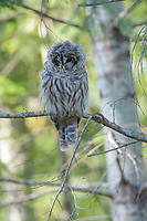 Barred Owl (Strix varia), , Gabriola , British Columbia, Canada