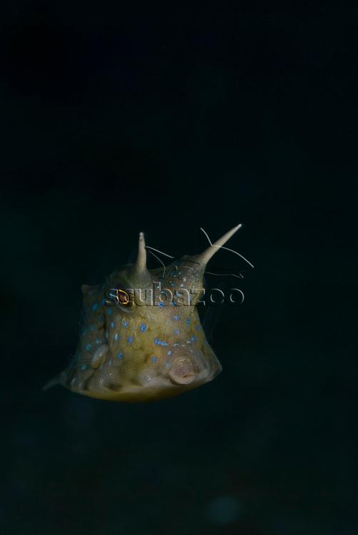 Longhorn Cowfish, Lactoria cornuta, showing horns, KBR, Lembeh Strait, Sulawesi, Indonesia.