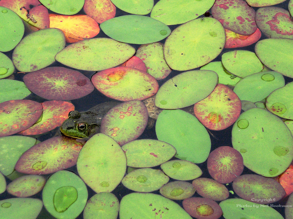I was photographing the lily pads when this frog rose up to complete the shot.