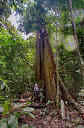 Giant tree in the rainforest of Deramakot, Sabah, Borneo (Malaysia).