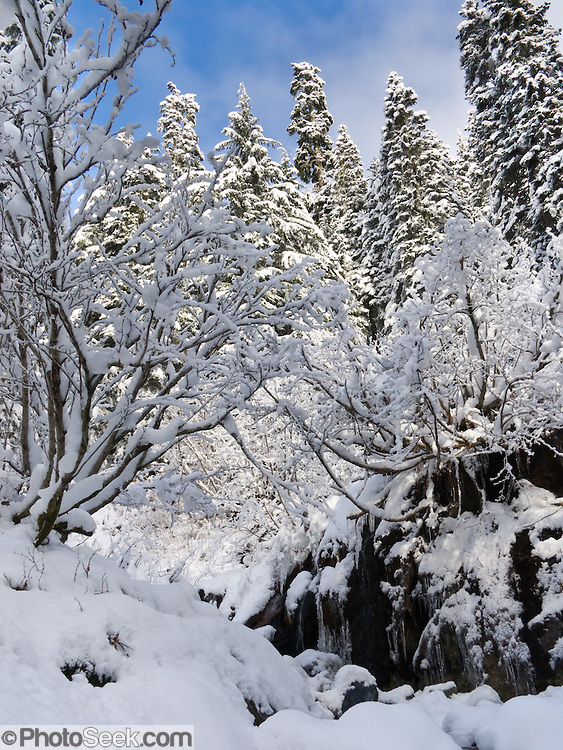 Snowy trees in the Cascades of Washington, USA