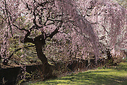 Cherry Blossoms in Branch Brook Park