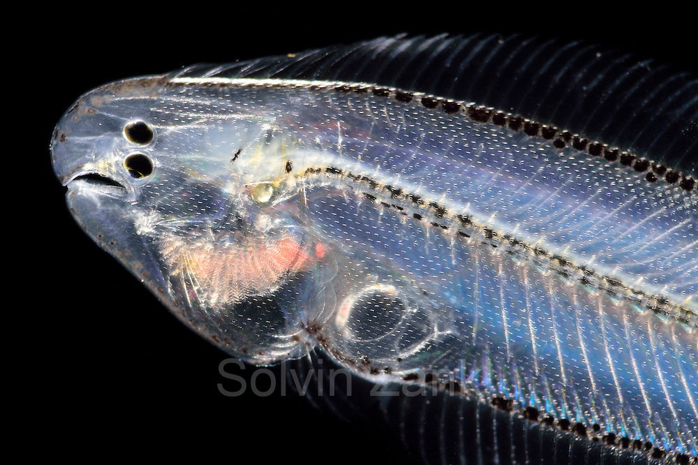 [captive] Flatfish (Soleidae) larva with asymmetric bodie. When the larva develops to an adult asymmetric vertebrat, the right eye migrates from the right side of the body to the left where it 'joins' the left eye. Atlantic Ocean close to Cape Verde | Als Larven haben Plattfische (Bothidae sp.) noch eine bilateral-symmetrische Körperform und schwimmen aufrecht im offenen Wasser.