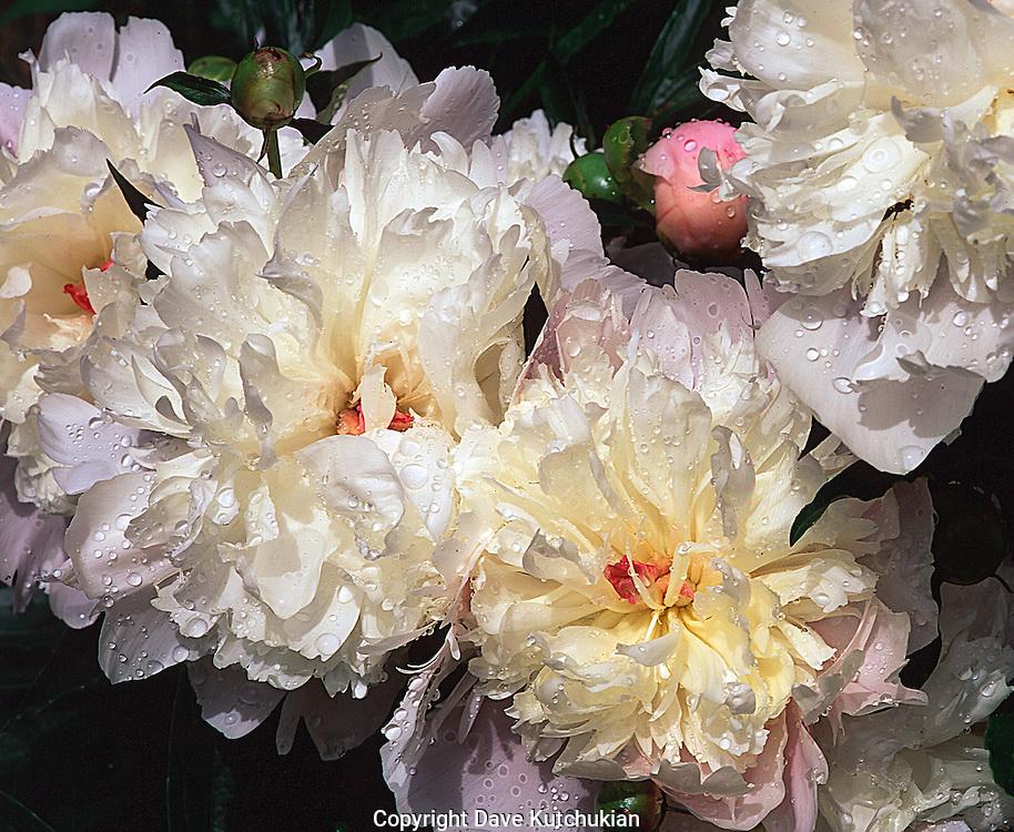 white peonies in spring, dorset,vt