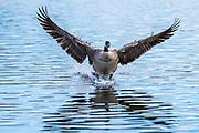 Canada Goose (Branta canadensis) Landing-Sequence #3
