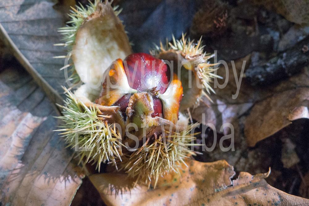 Maronen, Esskastanien, Stadtwald im Herbst, Wiesbaden, Taunus, Hessen, Deutschland | sweet chestnuts, forest in autumn, Wiesbaden, Taunus, Hesse, Germany