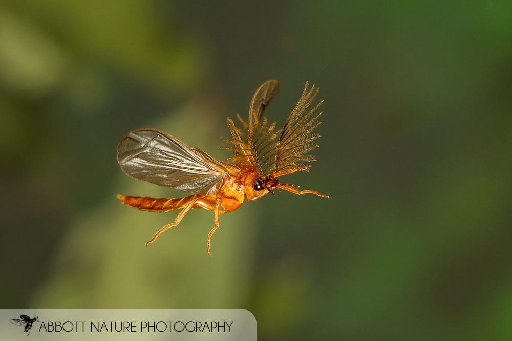 Glowworm Beetle (Phengodes sp.) male in flight<br /> ALABAMA: Tuscaloosa Co.<br /> Tulip Tree Springs off Echola Rd.; Elrod<br /> 30-May-2016<br /> J.C. Abbott #2823 &amp; K.K. Abbott