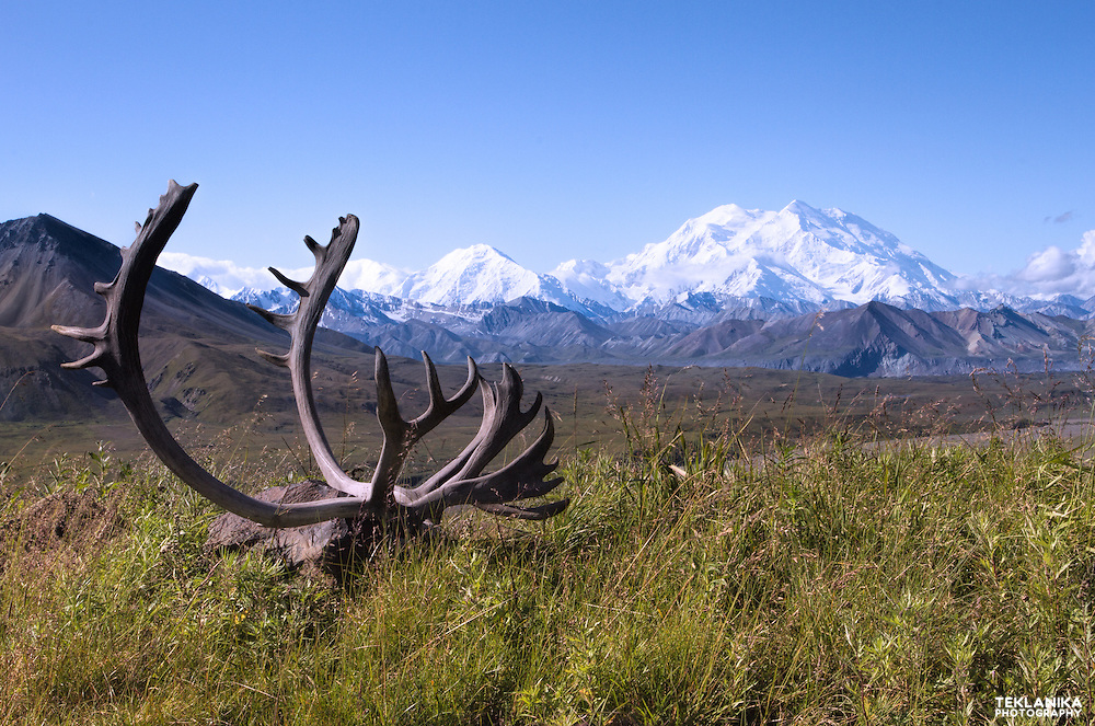 Caribou antlers and North America's tallest peak, Denali.