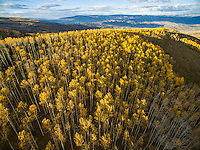 Low-altitude aerial view of fall aspen trees in Aspen, Colorado.