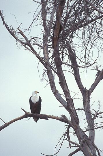 African Fish Eagle, (Hailiae etus vocifer) Perched in tree. Amboseli National Park. Kenya.