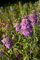 Plains Horsemint, (Monarda citriodora)  Burnet County, Texas