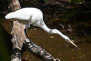 Great White Egret neck extended hunting for fish in glade, Florida Everglades, United States of America