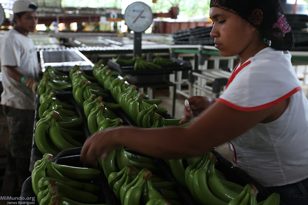 Ana Mojica, Ngäbe member of COOBANA, places fair-trade stickers on banana hands to be exported. COOBANA, Finca 51, Changuinola, Bocas del Toro, Panamá. September 3, 2012.